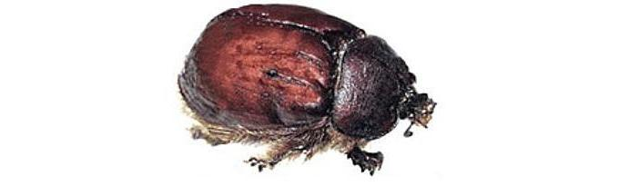 CochinealBeetle