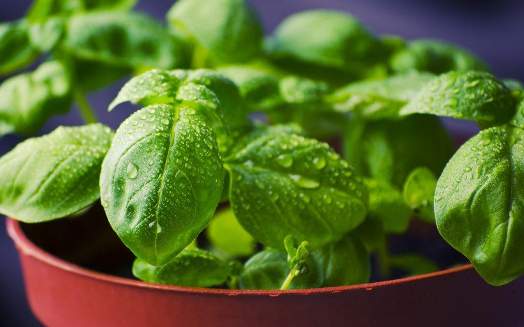 Herbs that Heal: Basil